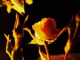 Rosebud . . . by orphicfiddler
