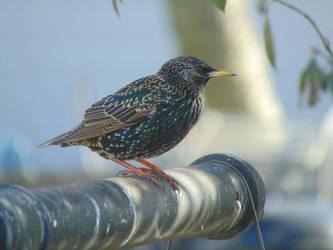 European Starling 2 by IsilwenShadewind