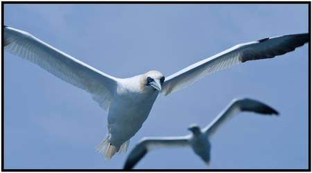 Gannet I by mojographics