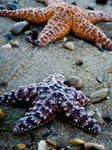 Colorful Sea Stars by jezebel144