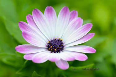 purple bloom by kathero3