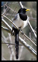 Yellow-billed Magpie II by ernieleo