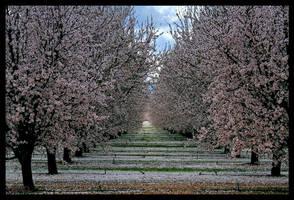Almond Orchard II by ernieleo
