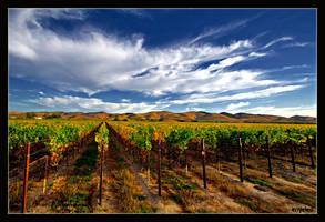 Sea of Grape Vines by ernieleo