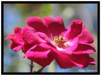 Rose 1 by hollygalah