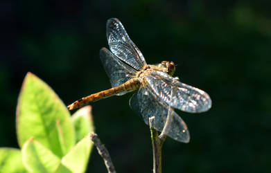 Dragonfly by YunaAnnPhotography