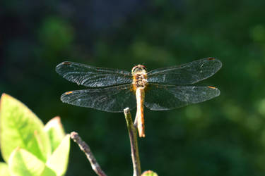 Dragonfly 2 by YunaAnnPhotography