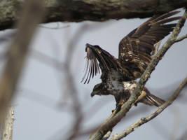 Juvenile Eagle III by Cryostar1177