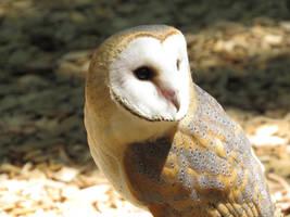 European Barn Owl by Cryostar1177
