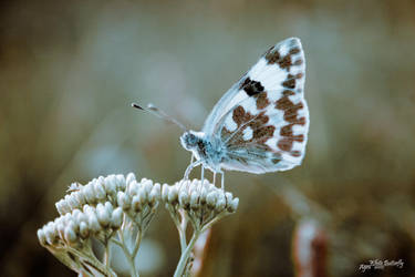 White Butterfly by scorsagra
