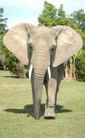 elephantstock02 by cas887