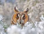 Long eared owl portrait by missfortune11