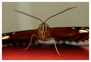 Butterfly VI by rudeboyskunk