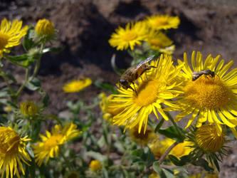 Bee and Wasp on Dandelions by DocherLesa