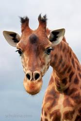 Portrait of giraffe by sschukina