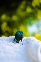 Green Fruit Beetle by Kimberly-Barfield