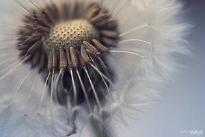 Dandelion 1 by Simon120188