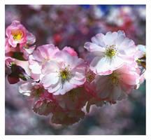 cherry blossom by bracketting94
