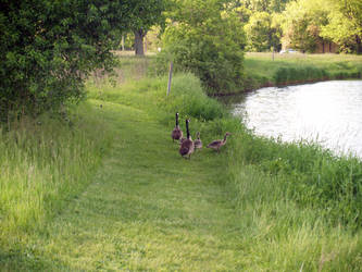 Geese by SolStock