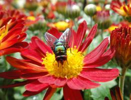 Green Bottle Fly by emizael