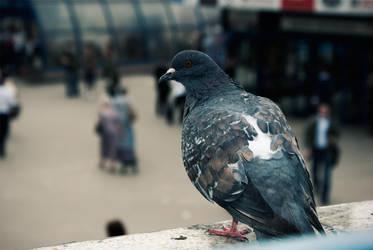 Pigeon by mkmckART