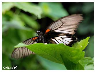 Butterfly 2. by Kiiwah