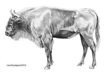 Bison menneri by LeenZuydgeest