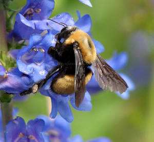 The Brown-Belted Bumble Bee by dreaming-of-serenity
