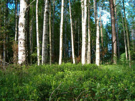 Finnish forest by dreamrose-stock