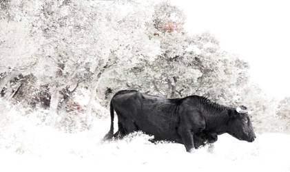 El Toro by Oniribit