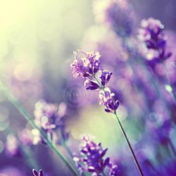 Lavender by Jules1983