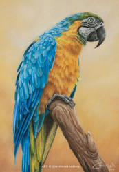 Blue and Gold Macaw by josephinekazuki