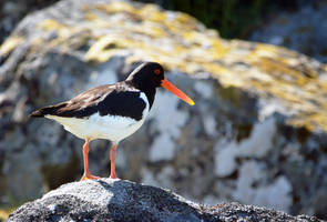 Oystercatcher by Nikki-vdp