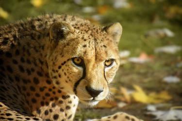 Autumn Cheetah by Nikki-vdp