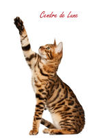Cat PNG by cendredelune