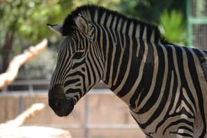 Zebre by cendredelune