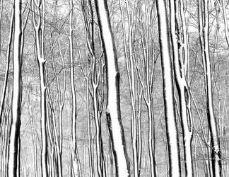 The zebraforest by karp