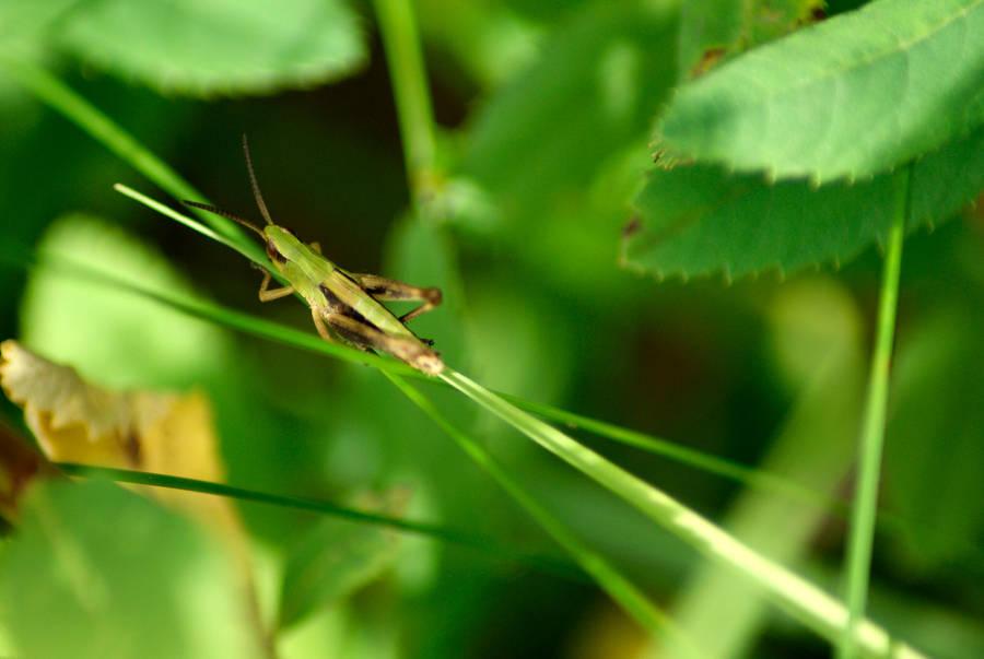 grasshopper by ElvensDay