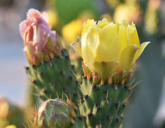 Palestinian yellow cactus flowers by palsun