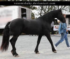 black friesian stallion walk 1 by venomxbaby