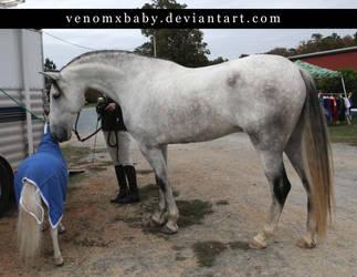 gray andalusian stallion 6 by venomxbaby