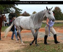 dapple gray arabian mare 2 by venomxbaby