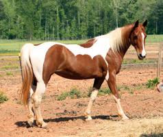 chestnut tobiano saddlebred 1 by venomxbaby