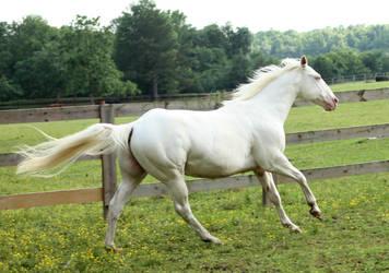 cremello stallion 8 by venomxbaby