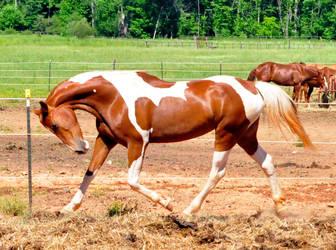 chestnut saddlebred 12 by venomxbaby