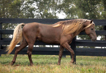 rocky mountain horse 1 by venomxbaby