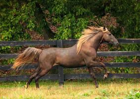 rocky mountain horse 6 by venomxbaby