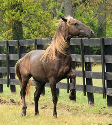 rocky mountain horse 8 by venomxbaby