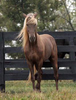 rocky mountain horse 10 by venomxbaby