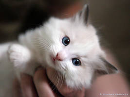 seal bicolor ragdoll 3 by venomxbaby